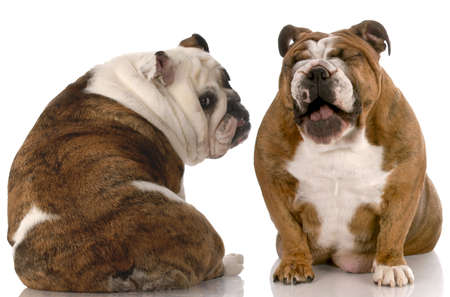 funny dog fight - english bulldog laughing at another with back to viewer Stock Photo - 6363475