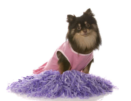 pomeranian puppy dressed up as a cheerleader with pompoms photo