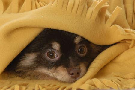 pomeranian puppy hiding under yellow blanket
