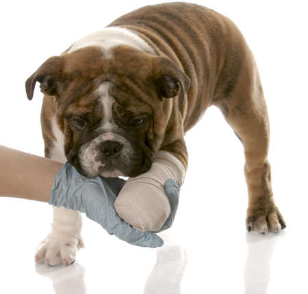 veterinarian hand holding wounded paw of english bulldog puppy photo