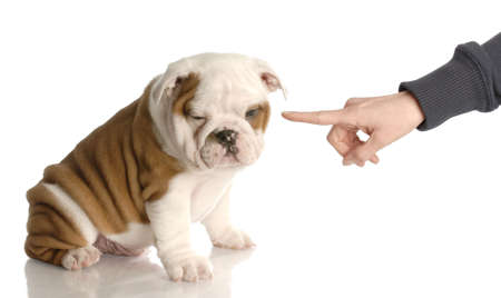 bad dog - persons hand wagging finger at nine week old english bulldog puppy  Stock fotó