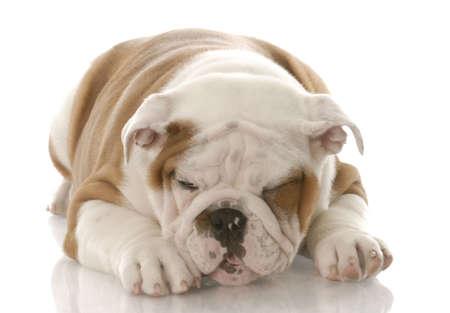 ill looking english bulldog puppy making a sickly face photo