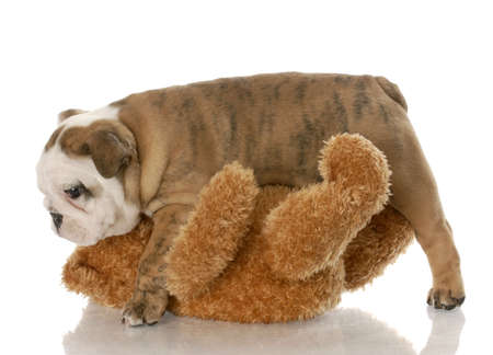 eight week old english bulldog puppy playing with stuffed bear on white background photo