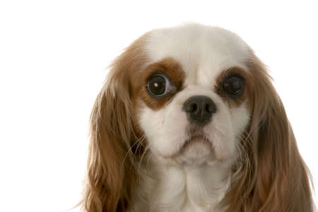 blenheim cavalier king charles spaniel with funny eyes photo