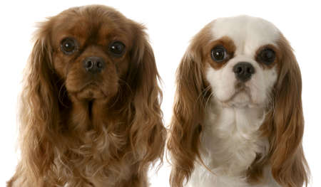 cavalier: ruby and blenheim cavalier king charles spaniels sitting beside each other on white background Stock Photo