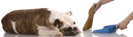 handen met broom en stof pan vegen rond een luie Engels bulldog