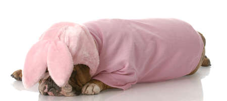 sad looking english bulldog wearing pink bunny rabbit costume photo