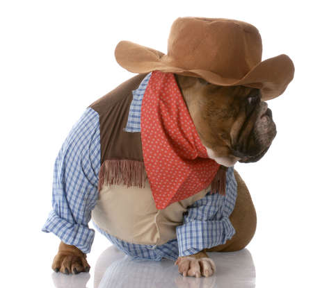 english bulldog dressed up as a cowboy with reflection on white background photo