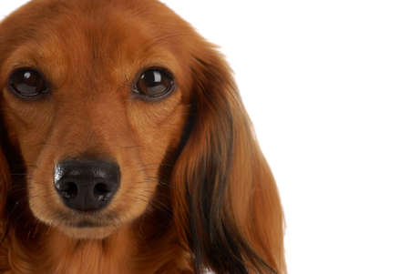 long haired miniature dachshund portrait on white background Stock Photo - 6416395