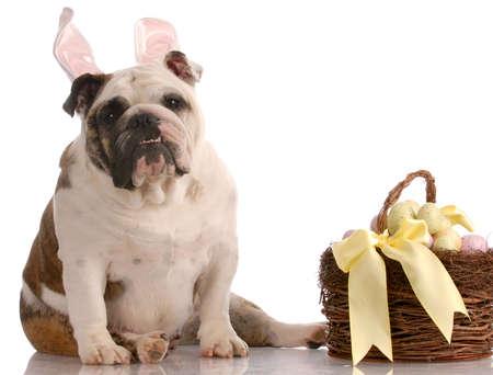 english bulldog wearing bunny rabbit ears sitting beside easter basket with reflection on white background photo