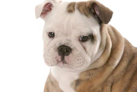 english bulldog head portrait on white background Stock Photo - 6430113