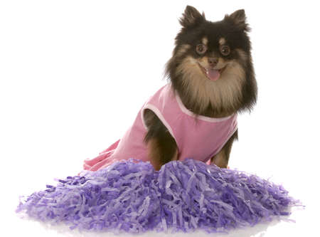 brown and tan pomeranian dressed up as a cheerleader with purple pompoms photo