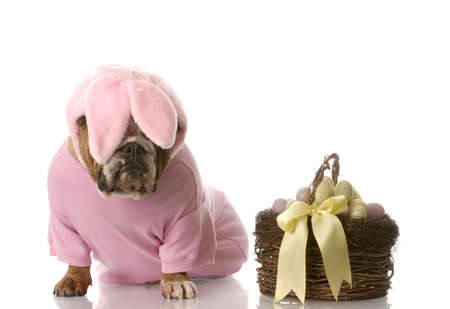 sad looking english bulldog dressed up as easter bunny sitting beside basket with eggs photo