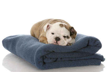 nine week old english bulldog puppy sleeping on a blue blanket