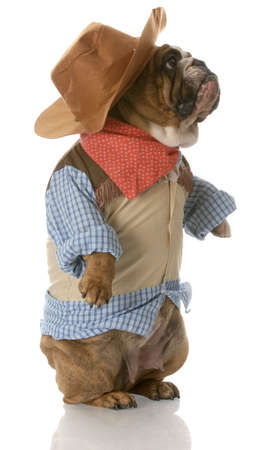 english bulldog standing up wearing cowboy costume with reflection on white background