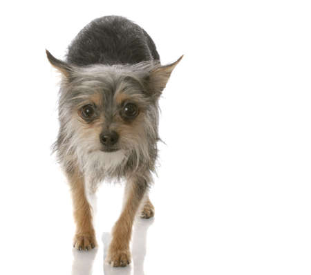 chihuahua crossed with yorkie mixed breed dog walking toward viewer Stock Photo - 6492857