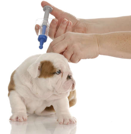 english bulldog puppy getting vaccinated with reflection on white background