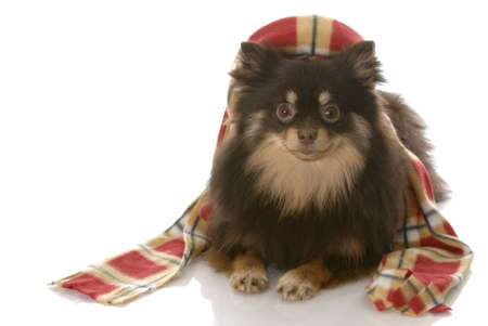 voguish: pomeranian wearing plaid winter hat and scarf with reflection on white background