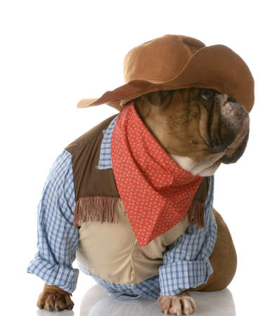 cowboy up: english bulldog dressed up as a cowboy with reflection on white background