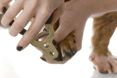hands using pet clippers to trim dogs toenails on white background photo