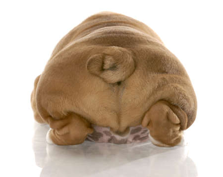 rear end: english bulldog puppy from the rear end with reflection on white background
