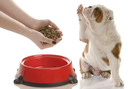 feed up: english bulldog puppy holding paw up begging for owner to feed him Stock Photo