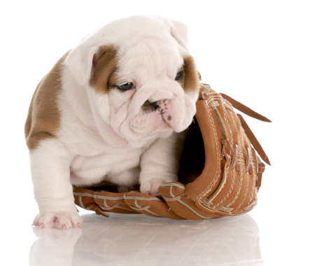 dodgers: english bulldog puppy sitting inside leather baseball glove with reflection on white background