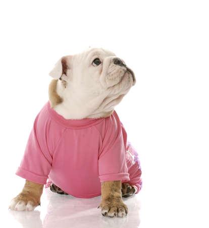 english bulldog puppy wearing pink dog coat with reflection on white background Stock Photo - 6604157