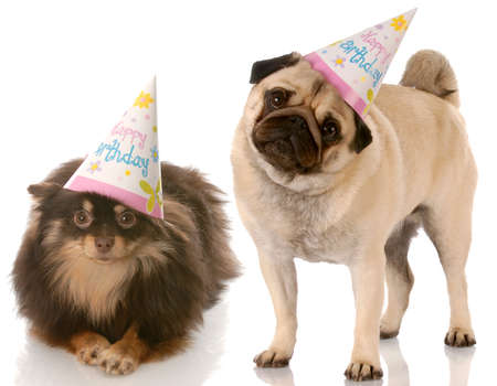 bajo y fornido: pug y pomeranian llevando sombreros de feliz cumplea�os con una reflexi�n sobre fondo blanco  Foto de archivo