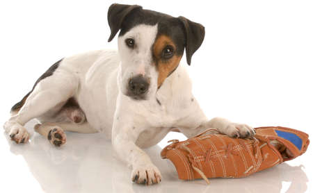 dodgers: jack russell terrier laying down with baseball glove with reflection on white background Stock Photo
