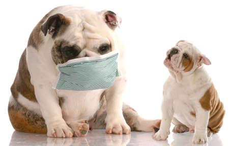estornudo: cachorro de bulldog ingl�s estornudos en otro perro que llevaba una m�scara m�dica con reflexi�n sobre fondo blanco