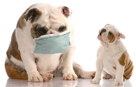 dog health: english bulldog puppy sneezing at another dog wearing a medical mask with reflection on white background Stock Photo