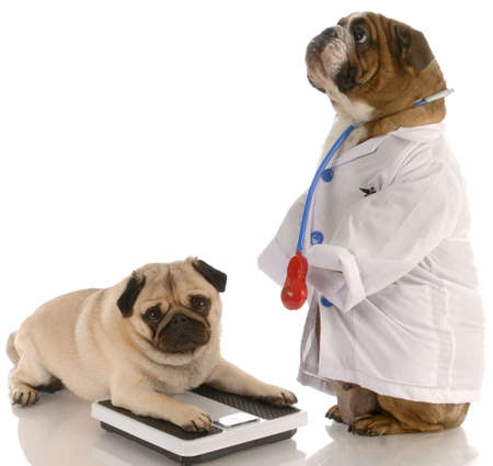 weigh: animal obesity - bulldog dressed up as doctor standing beside pug laying down on weigh scales
