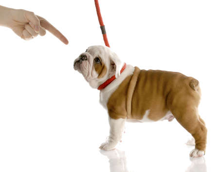 persons finger scolding a bad puppy on a red leash with reflection on white background photo
