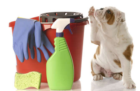 canines: english bulldog puppy holding paw up to shake Stock Photo
