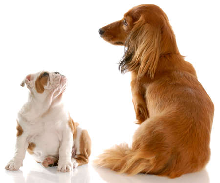 long haired miniature dachshund sitting beside english bulldog puppy with reflection on white background 写真素材