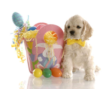 american cocker spaniel puppy sitting beside basket full of easter eggs with reflection on white background