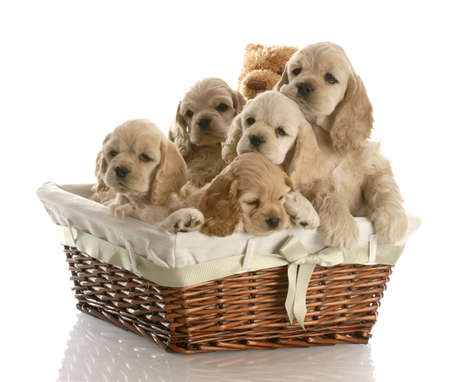 litter of american cocker spaniel puppies in a basket with reflection on white background photo