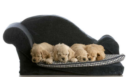 litter of cocker spaniel puppies laying down sleeping on a dog bed isolated on white background Stock Photo - 6685471