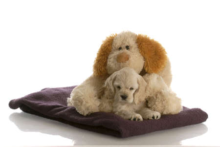 lookalike: american cocker spaniel puppy laying down snuggling with stuffed look-a-like dog with reflection on white background