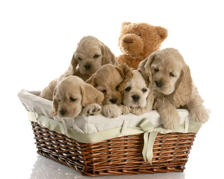 wicker basket filled with a litter of american cocker spaniel puppies with reflection on white background photo