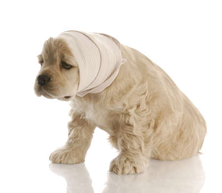 white bandage: american cocker spaniel puppy with head in bandage with reflection on white background Stock Photo