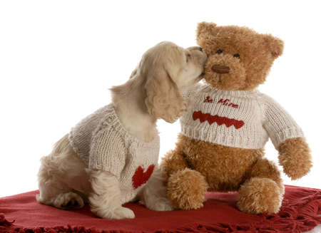 mood moody: american cocker spaniel puppy kissing teddy bear wearing matching shirts with reflection on white background