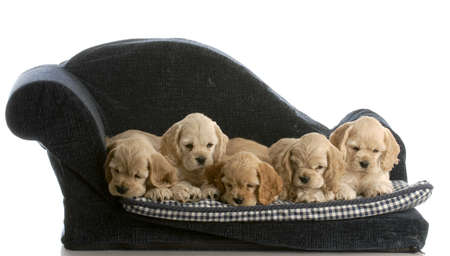 american cocker spaniel: litter of cocker spaniel puppies on a dog bed with reflection on white background Stock Photo