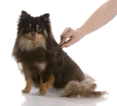 grooming: pile of hair beside a pomeranian that is being brushed with reflection on white background