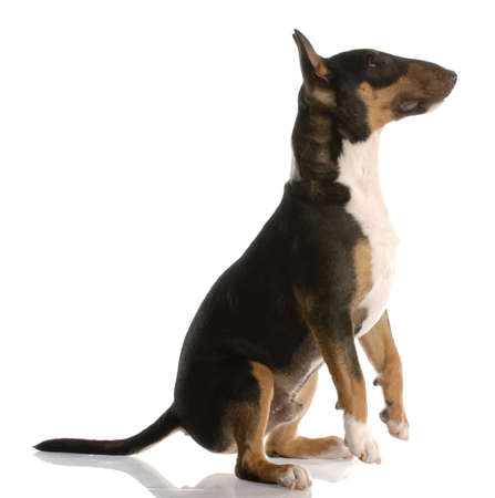 tri: bull terrier puppy - tri color - nine months old
