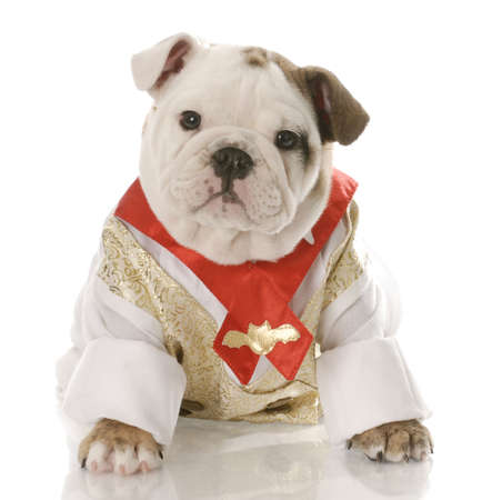 english bulldog puppy wearing mans shirt and tie with reflection on white background photo
