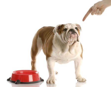 wagging: finger wagging at english bulldog puppy waiting to be fed with reflection on white background Stock Photo