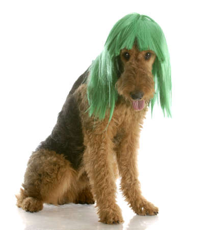 airedale terrier wearing green wig with reflection on white background Stock Photo - 6796914