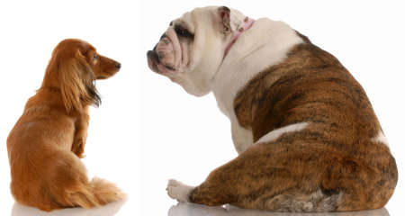 long haired dachshund and english bulldog looking at each other Imagens